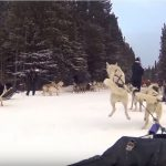 Dog Sledding in Banff Canada – come on let's go