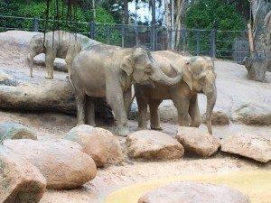Melbourne Zoo - elephants