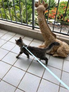 Kitten on harness