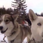 Dog Sledding in Banff Canada – cuties behind us